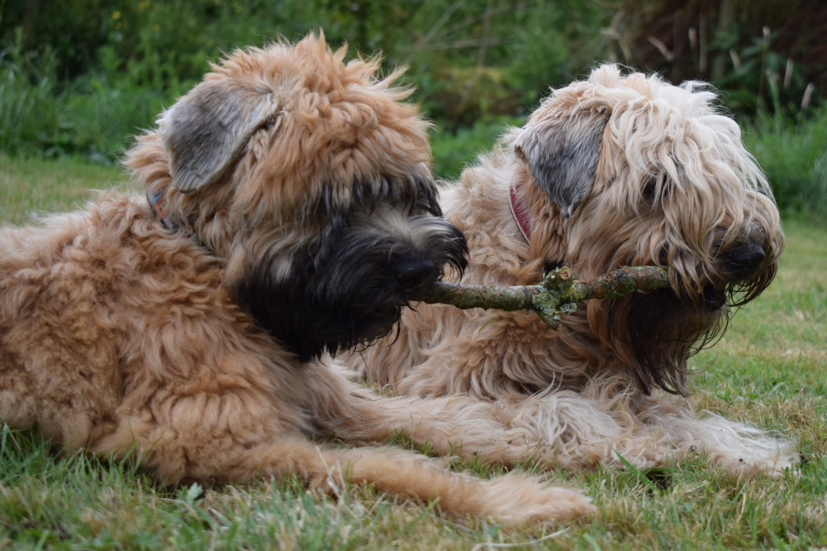 soft coated wheaten terrier shedding soft coated wheaten terrier club of great britain 2623