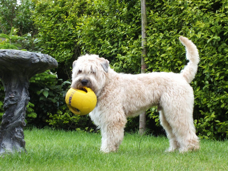 Soft Coated Wheaten Terrier Club Of Great Britain Wheaten Funday Scotland 2018